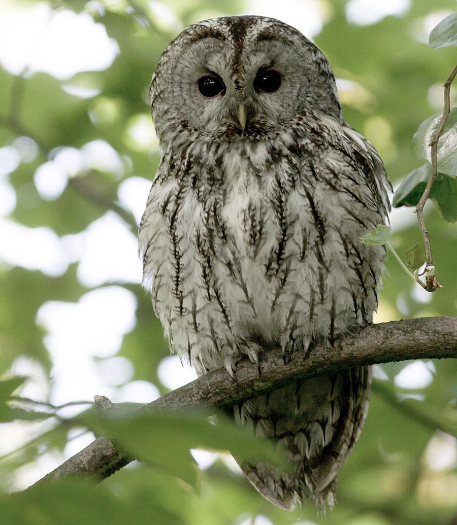 Kattuggla - Strix aluco - Tawny Owl - En bildsida med ...