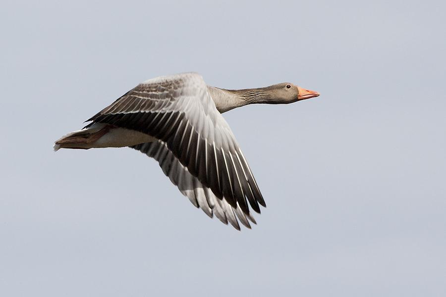2010 >> Grågås-Anser anser-Greylag Goose-www.svartfoton.se-Christian Ljunggren
