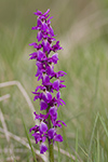 Sankt Pers nycklar/Orchis mascula/Early Purple Orchid