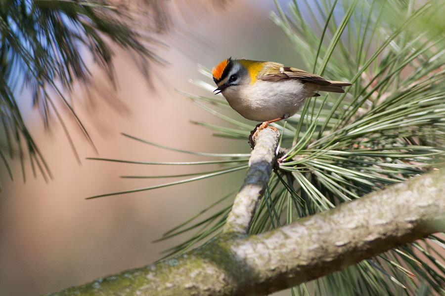 Brandkronad kungsfågel - Regulus ignicapillus - Firecrest
